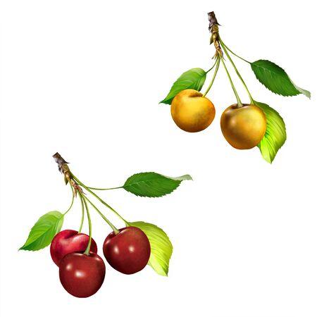 Yellow Cherries hanging on a cherry tree branch photo