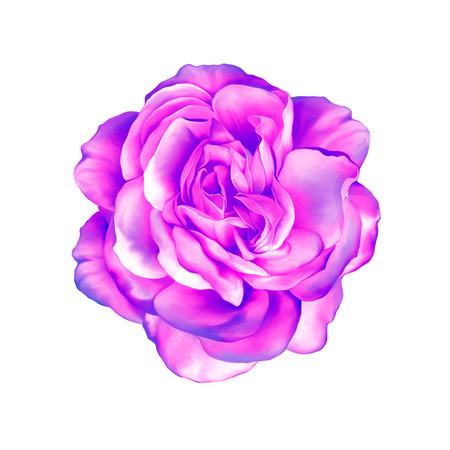 purple rose: Blue purple rose flower isolated on white