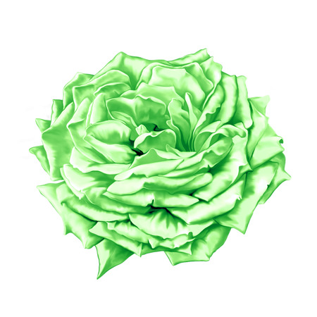 thea: Green big Rose Flower Stock Photo