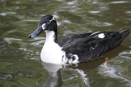 pied: Duck Pied Stock Photo