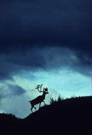 caribou: Caribou Bull Silhouetted