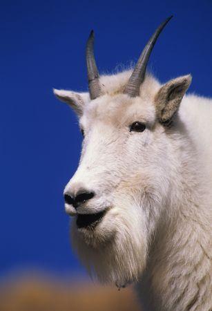 berggeit: Mountain geit staand Stockfoto