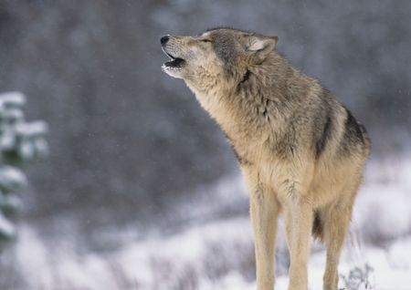 Wolf Howling in Snowstorm