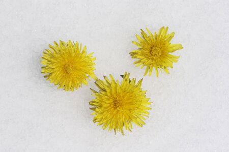 Dandelions in Spring Snow 版權商用圖片