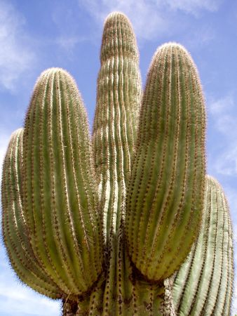 Saguaro Cactus Banco de Imagens - 4795618
