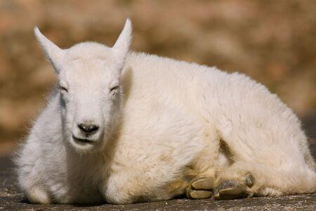 cabra montes: Sue�o de cabra de monta�a para ni�os Foto de archivo
