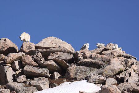 mountain goats: Mountain Goats su Rocky Ridge Archivio Fotografico
