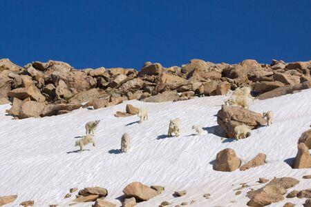 mountain goats: Capre di montagna Giocare su Snowfield