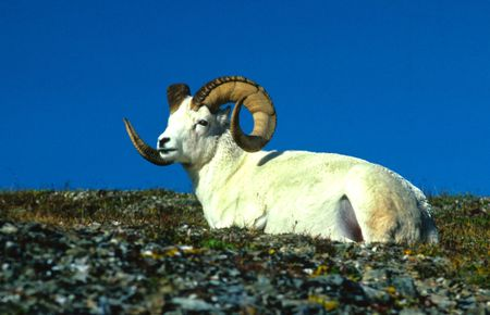 Dall Sheep Ram Bedded