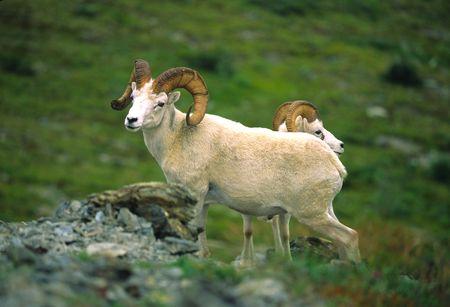 Nice Dall Sheep Ram