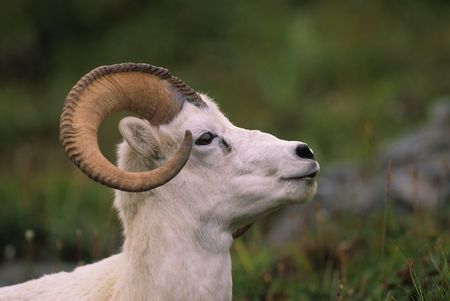 Dall Sheep Ram Side Portrait Stock Photo