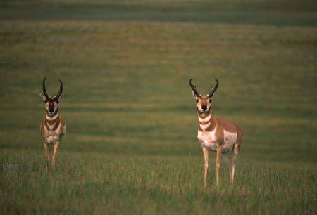 Pronghorn Antelope Bucks photo