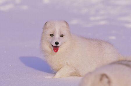 Cute arctic Fox in Winter