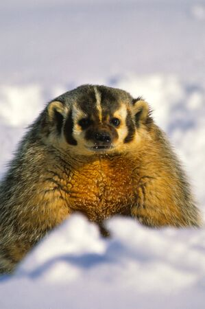 burrow: Badger in Snow Stock Photo