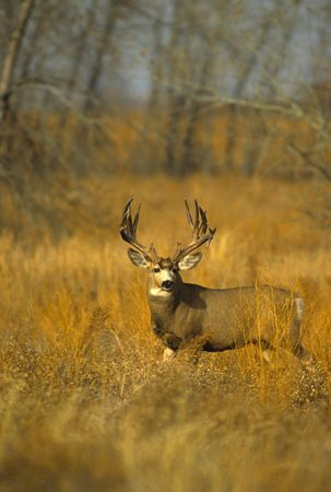 Monster Mule Deer Buck photo