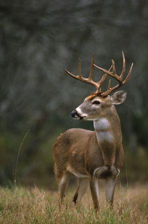 an ungulate: Trofeo White-tailed Buck Archivio Fotografico