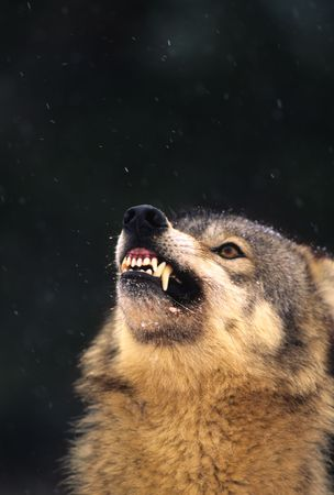 Snarling Gray Wolf