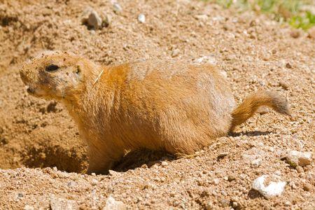 Prairie Dog at Burrow Reklamní fotografie - 5422577