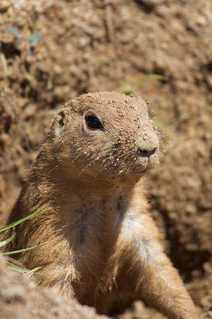 Dirty Prairie Dog Face
