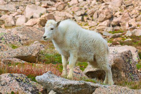 cabra montes: Cabra de monta�a joven