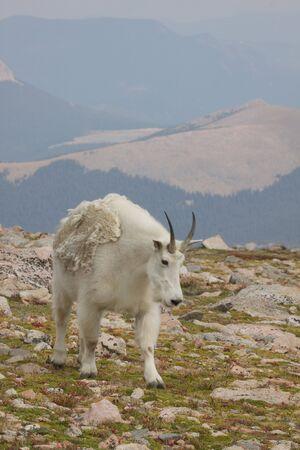 berggeit: Berggeit in hoge land Stockfoto