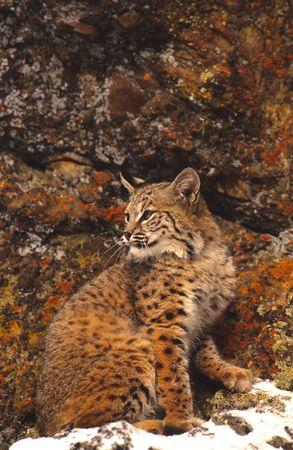 lince rojo: Bobcat y coloridas Rocks  Foto de archivo