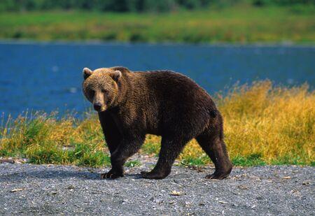 alaskan bear: Alaskan Brown Bear Stock Photo