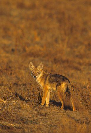 Coyote in Meadow Reklamní fotografie - 5517208
