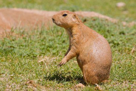 Curious Prairie Dog