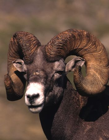 bighorn sheep: Bighorn Sheep Ram Portrait