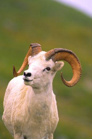 Dall Sheep Ram photo