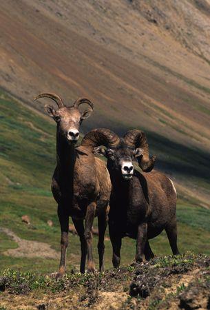 borrego cimarron: Borrego cimarr�n Ram y oveja