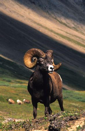 bighorn sheep: Full Curl Bighorn Sheep