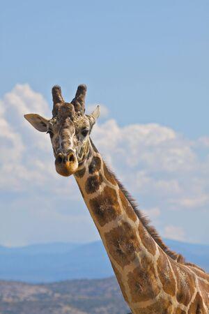 reticulated giraffe: Reticulated Giraffe