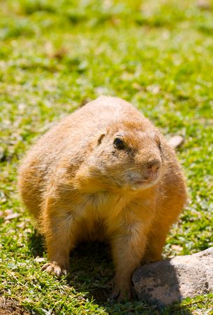 Cute Prairie Dog Reklamní fotografie