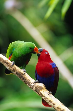 Mating Eclectus Parrots photo