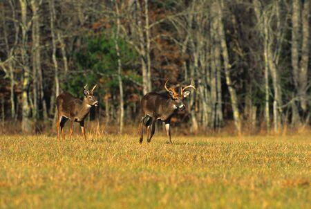 Whitetail Bucks in Meadow Фото со стока
