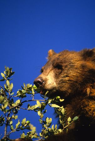 oso negro: Oso negro comer bellotas