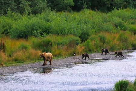 omnivore: Female Brown Bear Fishing with Her Three Cubs
