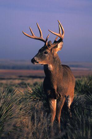 Whitetail Buck on Prairie