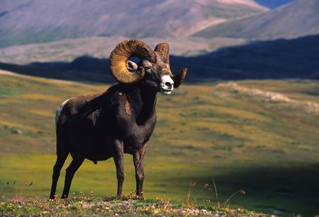 carnero: Borrego cimarr�n Ram Above Timberline Foto de archivo