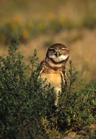 burrowing: Curious Burrowing Owl