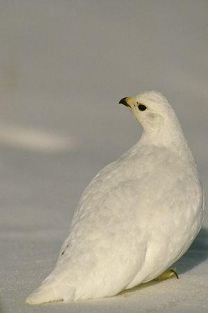 camoflauge: White-tailed Ptarmigan in Snow Stock Photo