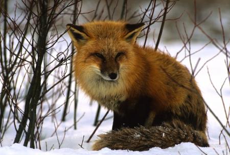 volpe rossa: Volpe rossa nella neve Archivio Fotografico