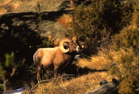 Bighorn Sheep Ram Stok Fotoğraf