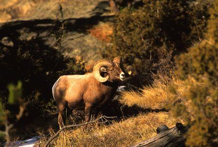 bighorn sheep: RAM pecore bighorn