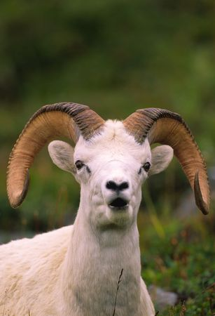 Dall Sheep Ram Bedded photo