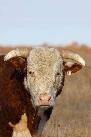 Hereford Bull Close Up