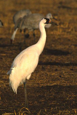 whooping: Whooping Crane