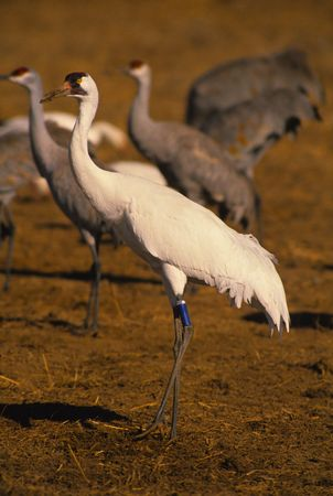 whooping: Banded Whooping Crane